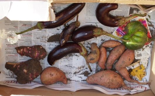 La récolte : aubergines, patates douces et topinambours.